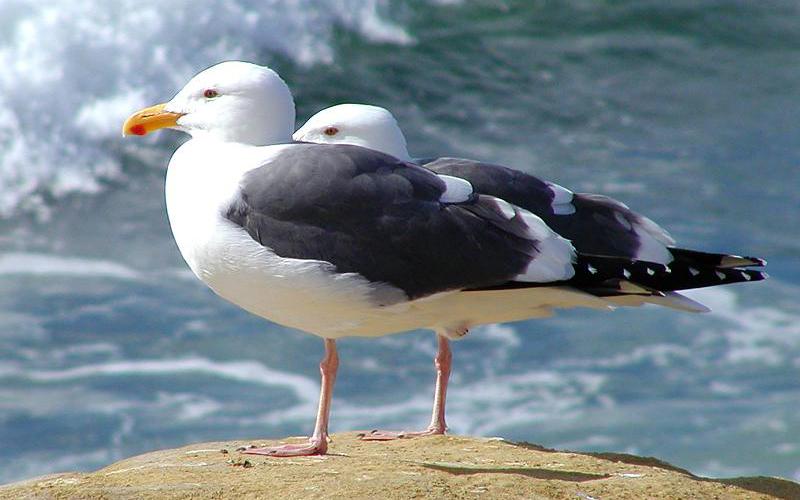 seagull, Paiute language