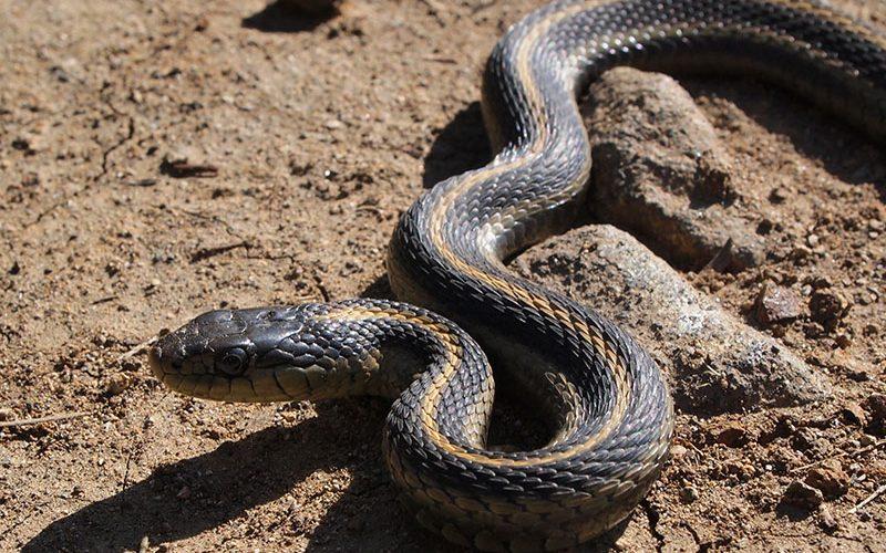 snake, Paiute language