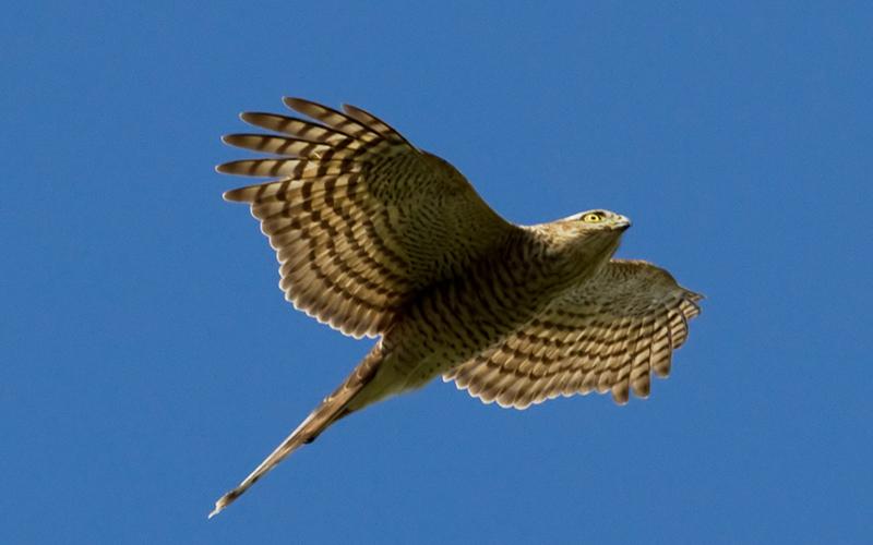 sparrow hawk, Paiute language