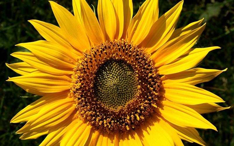 sunflower, Paiute language