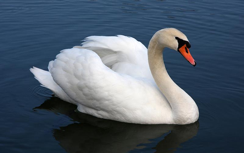 swan, Paiute langugae