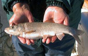 Tui Chub fish
