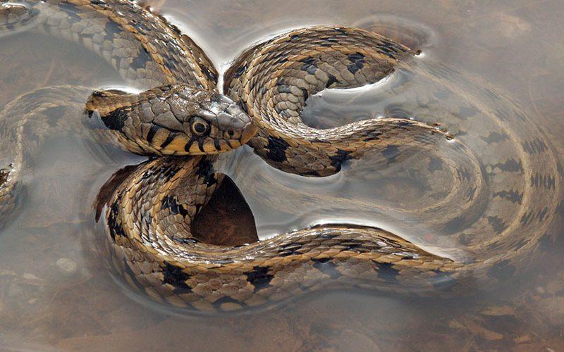water snake, Paiute language