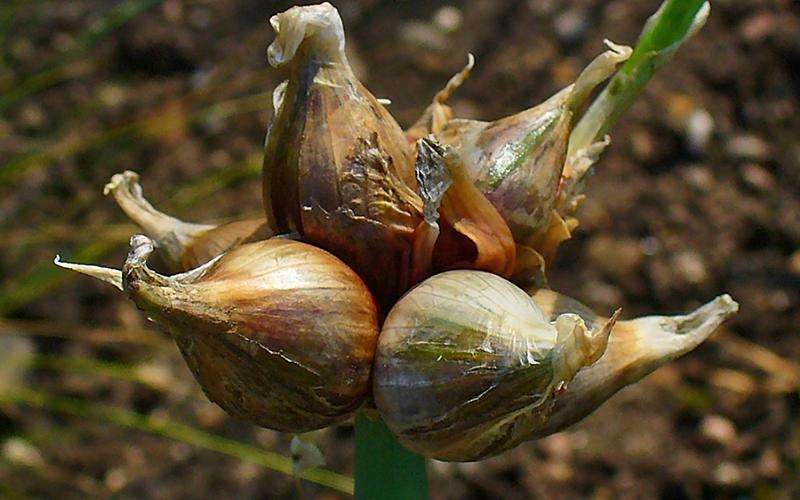 wild garlic, Paiute language
