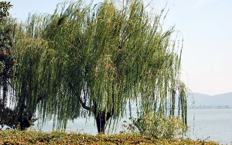 willow tree, Paiute language
