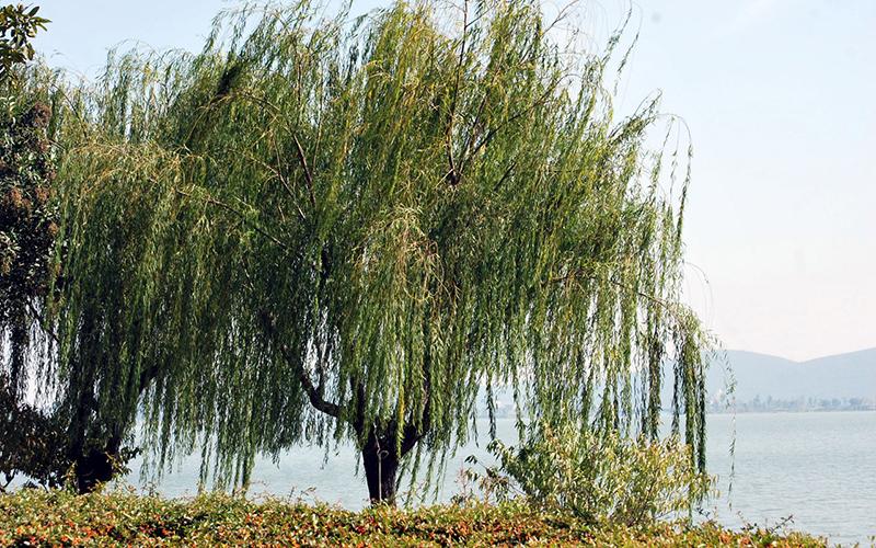 willow tree, Paiute language