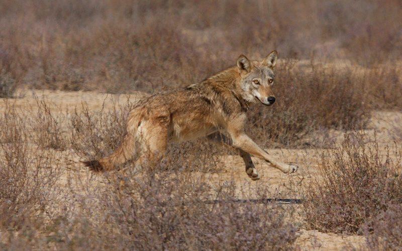 wolf, Paiute language